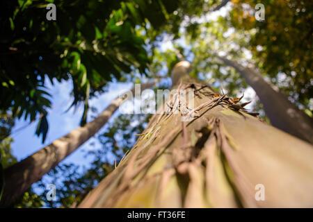 Detail of eucalyptus rainbow tree trunk - Stock Photo