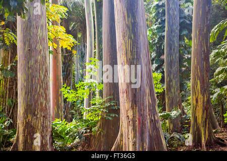 eucalyptus rainbow tree trunk - Stock Photo