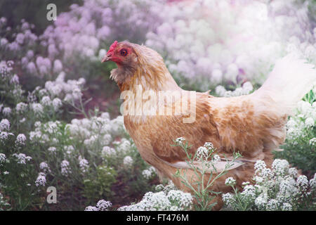 Free Range Chicken in a Field of Wildflowers. - Stock Photo