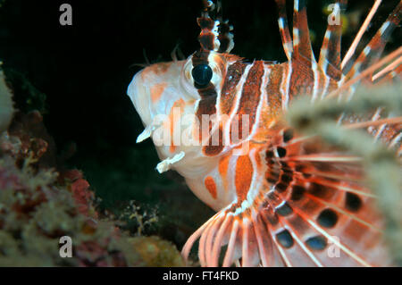 Half face portrait of a lionfish hidden in a cavern, Panglao, Philippines - Stock Photo