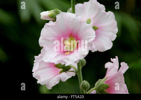 Alcea rosea, common hollyhock,  white flowered, tall ornamental herb with large lobed leaves and nearly 10 cm across - Stock Photo