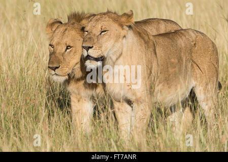 Lion,Loewe,Panthera leo, - Stock Photo