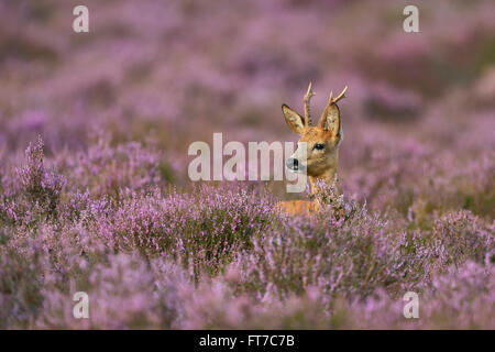Male Roe deer / Reh / Rehbock ( Capreolus capreolus ) surrounded by wonderful purplish blooming heather. - Stock Photo