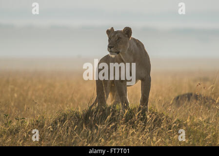Lion,Loewe,Panthera leo,female, - Stock Photo