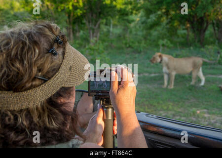 Africa, Zambia, South Luangwa National Park, Mfuwe. Safari jeep with photographer watching lioness (WILD: Panthera - Stock Photo