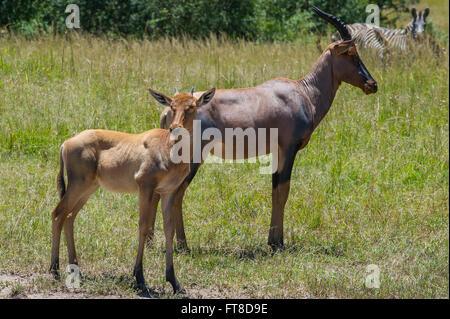 Topi,Leierantilope,Cub,Common tsessebe,Damaliscus lunatus - Stock Photo
