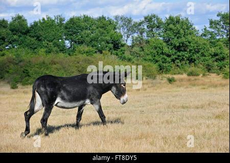 Grand Noir du Berry donkey (Equus asinus) in field, La Brenne, France - Stock Photo