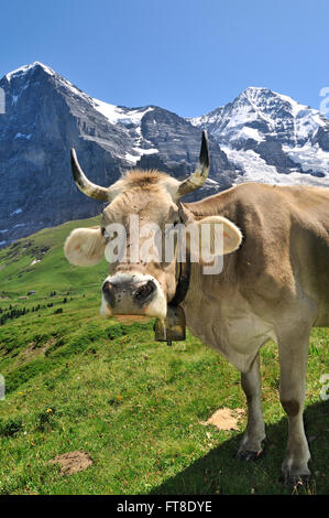 Portrait of brown Alpine cow (Bos taurus) with cowbell in alpine meadow, Swiss Alps, Switzerland - Stock Photo