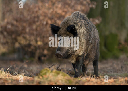 Wild boar / Wildschwein ( Sus scrofa ), adult female with swollen teats, in natural surrounding of a broad leaved - Stock Photo