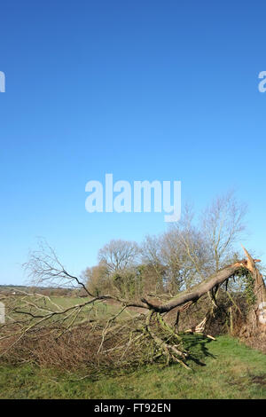 Tree damaged by a recent storm in rural Somerset, th March 2016 - Stock Photo