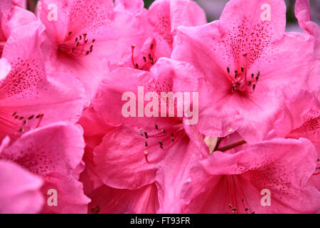 Close up of pink Rhododendron bush in park - Stock Photo