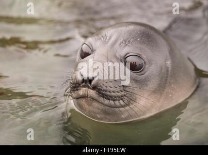 Baby Elephant Seal in the waer  South Georgia - Stock Photo
