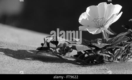 Exquisite desert evening primrose black and white flower turns towards the light on a dune in black and white - Stock Photo