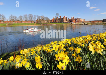 A swathe of yellow daffodils beside the Thames at Hampton Court, in the warm spring sunshine on Good Friday morning. - Stock Photo