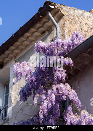 Wisteria draped drain pipe. A extravagantly blooming wisteria climbs up a drain pipe on the side of a house in a - Stock Photo