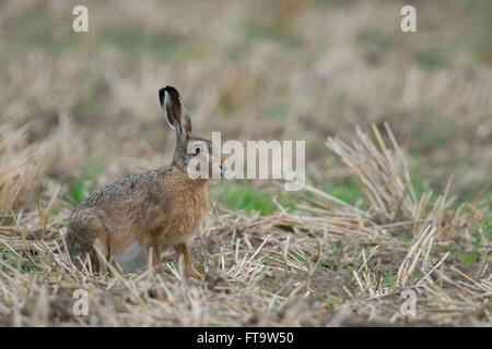 Brown Hare / European Hare / Feldhase ( Lepus europaeus ), attentive adult, sitting on a  stubble field. - Stock Photo