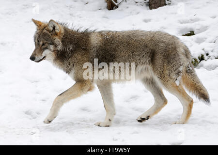 Eurasian Wolf / Grey Wolf ( Canis lupus ) in winter fur, presenting typical distinguishing features in snow covered - Stock Photo