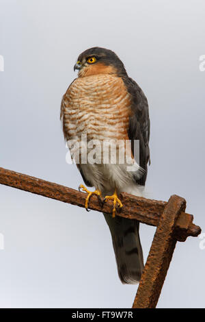 Eurasian Sparrowhawk Accipiter nisus adult male perched - Stock Photo