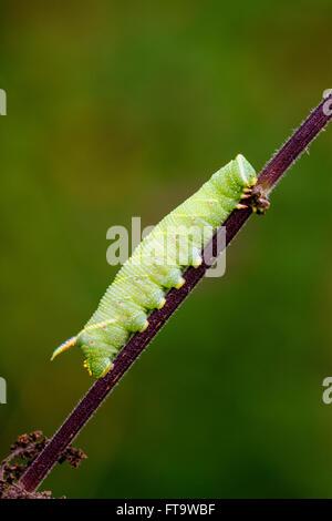 Lime Hawk Moth Minas tiliae caterpillar crawling along plant stem - Stock Photo