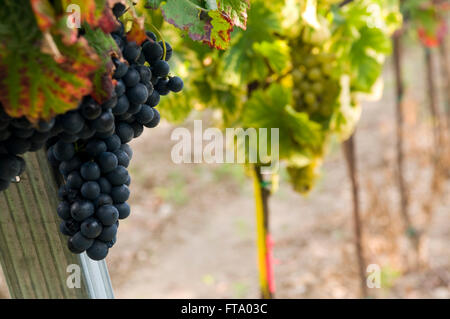 Ripe red and white grapes ready for harvest - Stock Photo