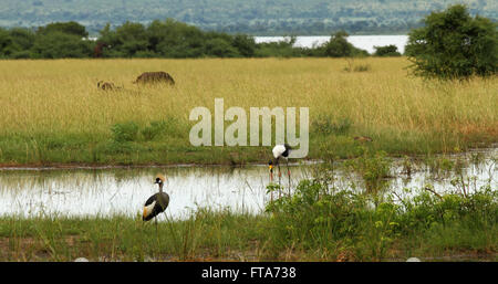 A group of animals on a Ugandan plain.  They include a Grey Crowned Crane, a Saddle Billed Stork, a duck, Cape Buffalo - Stock Photo