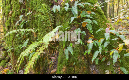 Monumental oak tree moss wrapped with lots of Common Polypody ferns,Bialowieza Forest,Poland,Europe - Stock Photo
