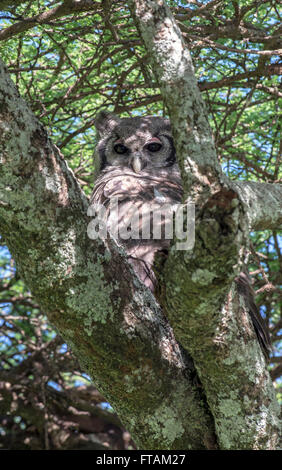 Verreaux's eagle-owl (Bubo lacteus) roosting in a tree. The species is sometimes called the giant or milky eagle - Stock Photo