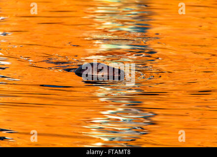 Atlantic Grey Seal Halichoerus grypus adult swimming - Stock Photo