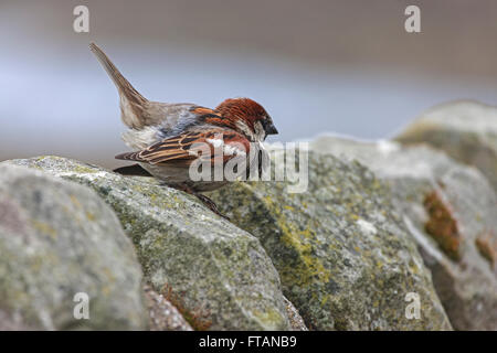 House Sparrow Passer domesticus adult male displaying on stone wall - Stock Photo