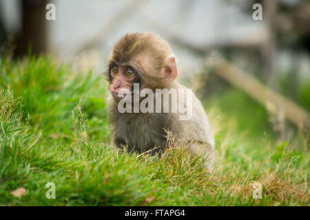 A baby Japanese macaque (Macaca fuscata), also known as a Snow Monkey, sits in the grass. - Stock Photo