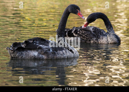 Black swans signets young on glistening water dappled plumage red beaks - Stock Photo