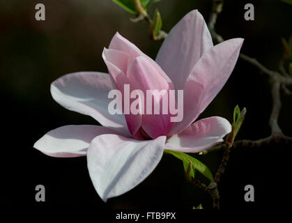 Magnolia 'Star Wars' at the Royal Horticultural Society's Garden Wisley, Woking, Surrey, UK - Stock Photo