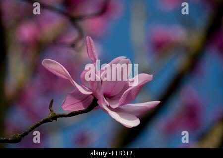 Magnolia campbellii in Kew Gardens, London, UK - Stock Photo