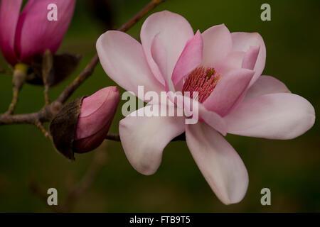 The stigmatic core of Magnolia campbellii in March in Kew Gardens, London, UK - Stock Photo