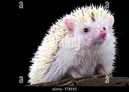 Pygmy hedgehog (Atelerix albiventris) albino - Stock Photo