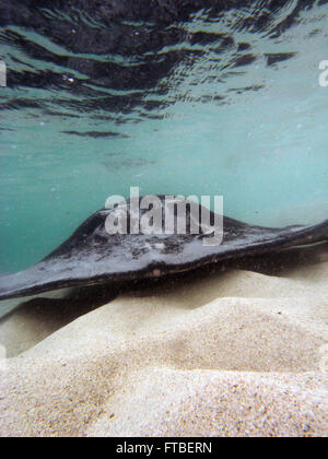 Head-on view of large stingray in shallow water, Hamelin Bay, Margaret River region, Western Australia - Stock Photo