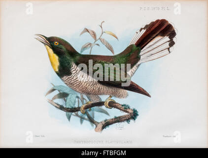 yellow-throated cuckoo (Chrysococcyx flavigularis). A species of cuckoo in the Cuculidae family. It is found in - Stock Photo
