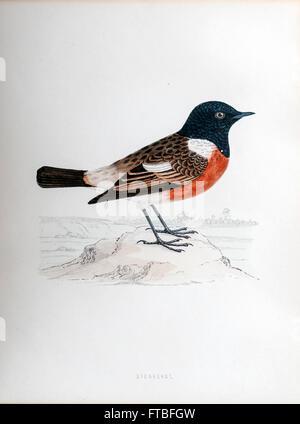 19th century artwork of African stonechat or common stonechat (Saxicola torquatus) - Stock Photo