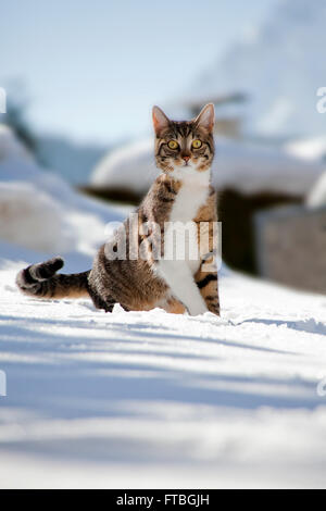 Cat sitting in the snow, Mittenwald, Bavaria, Germany - Stock Photo