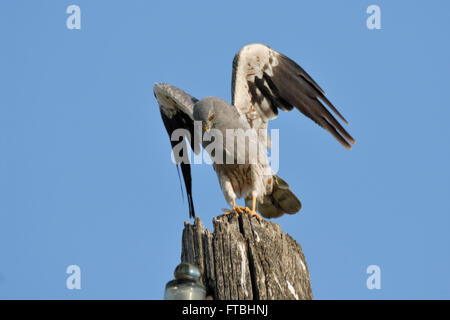 Flapping wings perching male Montagu's Harrier (Circus pygargus). Saratov region, Russia - Stock Photo