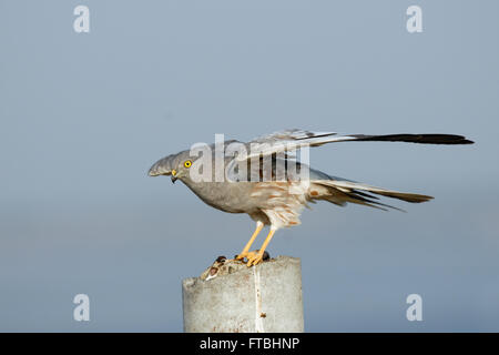 Flapping wings perching male Montagu Harrier (Circus pygargus). Saratov region, Russia - Stock Photo