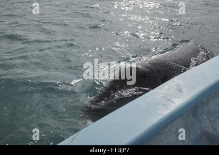 Baby Gray Whale at boatside in San Ignacio Lagoon.  Scientific name:  Eschrichtius robustus. - Stock Photo