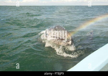 Young Gray Whale ( Baby Whale ) approaches small motor boat.  Moisture from blow hole catches sun to form rainbow. - Stock Photo