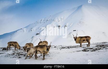 Svalbard Reindeer at Hiorthamn, near Longyearbyen, Spitsbergen - Stock Photo
