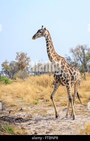 Southern giraffe (Giraffa camelopardalis) walking in savannah woodland: blue sky, Sandibe Camp, Okavango Delta, - Stock Photo