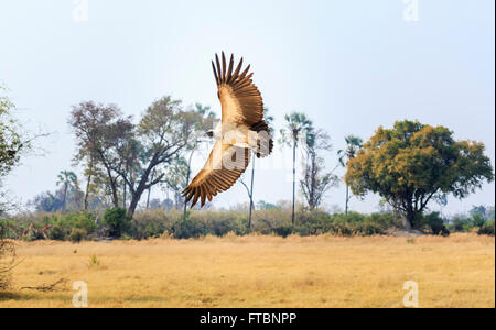 African white-backed vulture (Gyps africanus) in flight, Sandibe Camp, by the Moremi Game Reserve, Okavango Delta, - Stock Photo