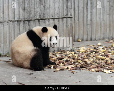 A giant panda is eating bamboo shoots, - Stock Photo