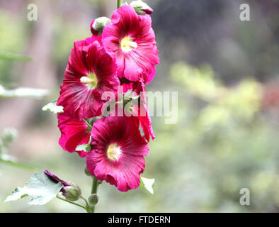 Alcea rosea, common hollyhock, family Malvaceae, red flowered, tall ornamental herb with large lobed leaves and - Stock Photo