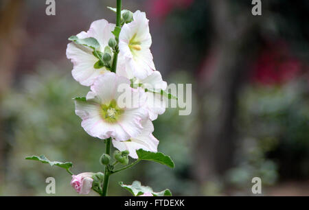 Alcea rosea, common hollyhock, white flowered, tall ornamental herb, large lobed leaves and nearly 10 cm across - Stock Photo