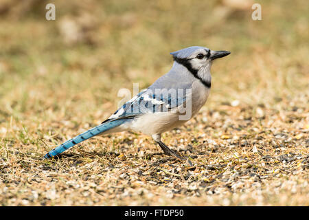 Blue Jay foraging in spilled seeds on ground. - Stock Photo